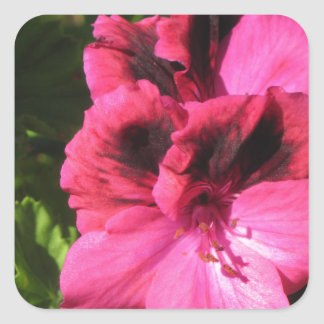 Pink Pelargonium blossom Square Sticker