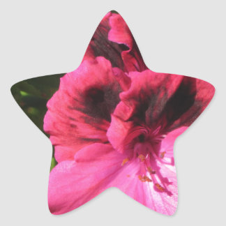 Pink Pelargonium blossom Star Sticker