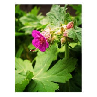 Pink Pelargonium Flower Postcard