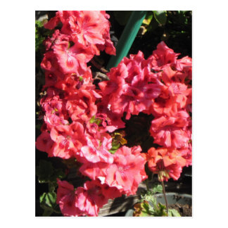 Pink Pelargonium flowers Postcard