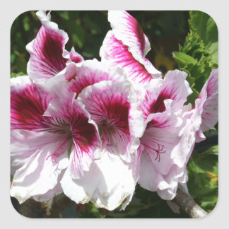 Pink Pelargonium flowers Square Sticker