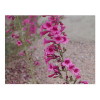 Pink Penstemons Post Cards