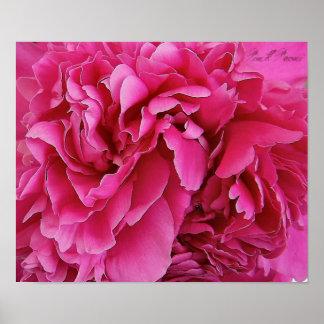 'Pink Peoni' Canvas Print Poster