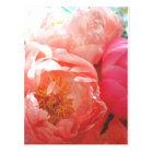 Pink Peonies -- pretty in pink! Postcard
