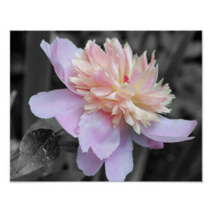 Partial color posters photo prints zazzle pink peony black and white flower poster print mightylinksfo