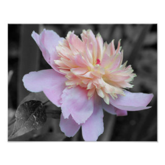 Pink Peony Black And White Flower Poster Print