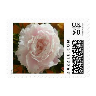 Pink Peony flower on warm background Postage