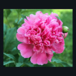 "Pink Peony Photo Print<br><div class=""desc"">Pink Peony ~ Full Bloom</div>"
