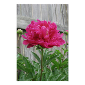 Pink Peony Posters