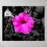 Pink Petunia Posters