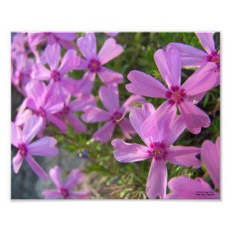 Pink Phlox Photograph