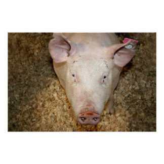 Pink pig with ear tag cute piggie picture poster