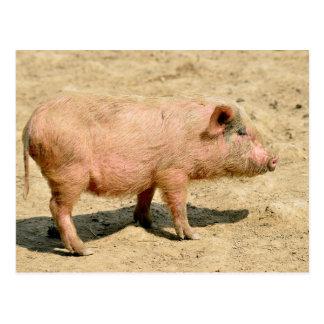 Pink piglet postcard