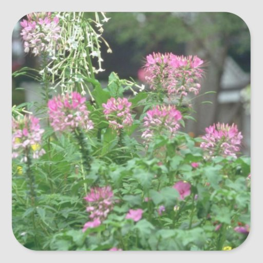 Pink Pink Flowers In Full Bloom flowers Square Sticker