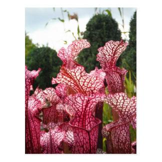 Pink Pitcher Plant Postcard