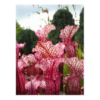 Pink Pitcher Plant Post Cards