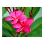 Pink Plumeria Frangipani Hawaiian Flower Postcard