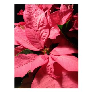 Pink Poinsettia Christmas Flowers