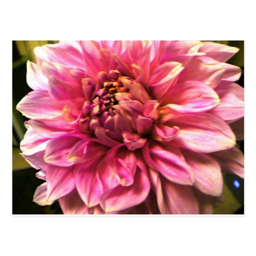 Pink Poof Post Card