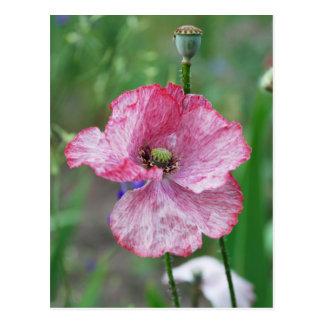 pink poppy postcard