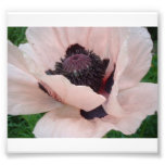 Pink Poppy with Front Petal Lifted Photo Print