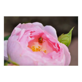 pink precious rose, single flower flowering with poster