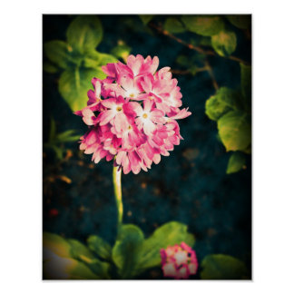 Pink Primula Flowers Poster