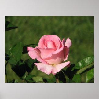 Pink Promise Hybrid Tea Rose 132 Poster