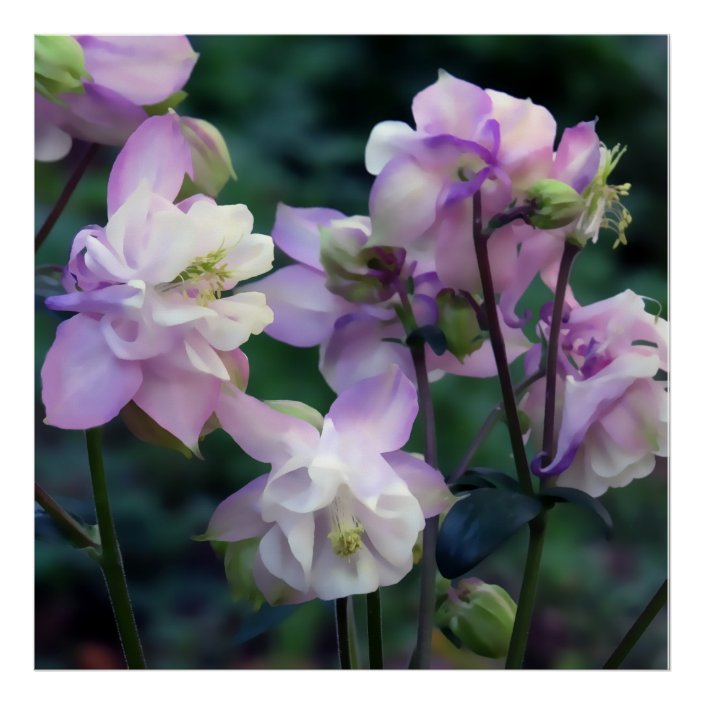 Pink Purple Columbine Flowers Poster Zazzle Com