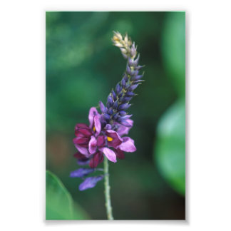 Pink Purple Flower on Flowering Kudzu Photo Print