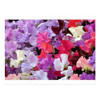 Pink purple white Sweet pea flowers in bloom Postcards