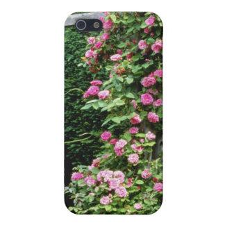 Pink Rambler Rose Francoise Juranville Over Pergol iPhone 5 Case