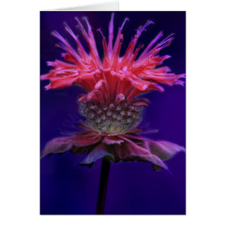 Pink Raspberry Wine Bee Balm Flower on Purple Card