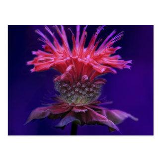 Pink Raspberry Wine Bee Balm Flower on Purple Postcard