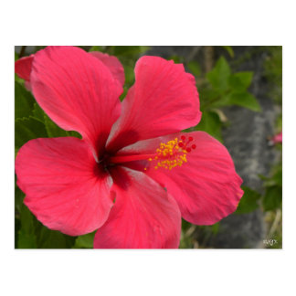 Pink & Red Hibiscus Postcard
