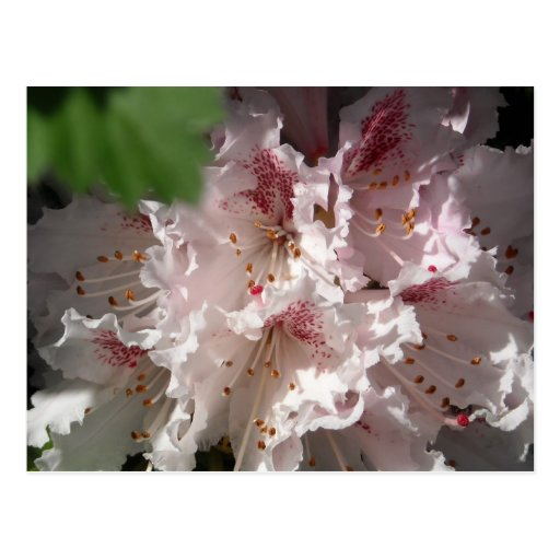 Pink Rhododendron 2 Postcard