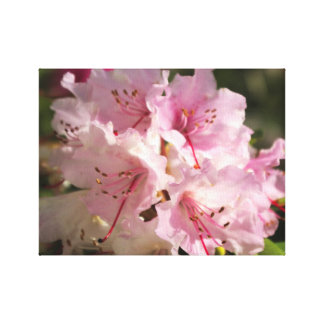 Pink Rhododendron blooms Stretched Canvas Print