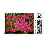 Pink Rhododendron Indicum 'Rose' (Azalea) flowers Postage Stamp