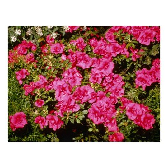 Pink Rhododendron Indicum 'Rose' (Azalea) flowers Postcard