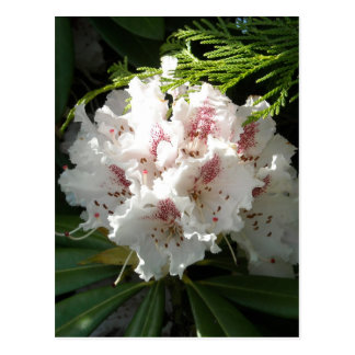 Pink Rhododendron Photo Postcard