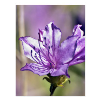 Pink Rhododendron Postcard