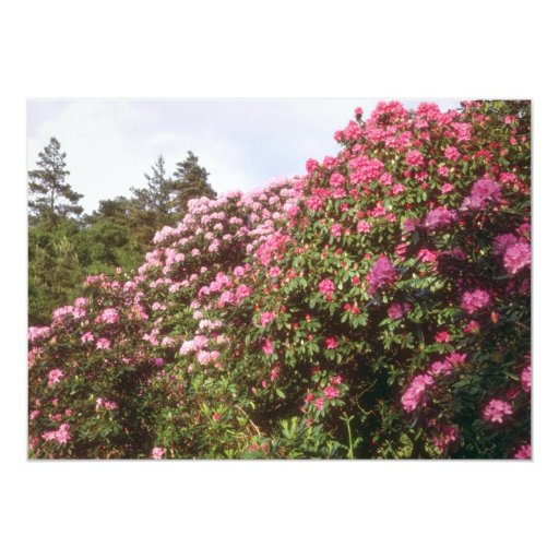 Pink Rhododendrons, Brickhill Woods flowers Custom Announcements