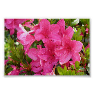 Pink Rhododendrons Poster