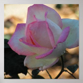 Pink Rimmed Rose Poster