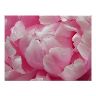 Pink romance blooming peony flower with dew drops posters