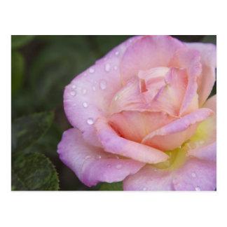 Pink Rose 2013 Calendar Postcard