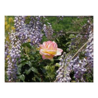 Pink Rose and Purple Wisteria Poster