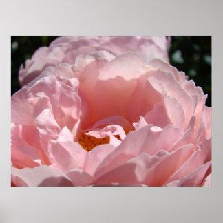 PINK ROSE Art Print Canvas or Framed Sunlit Rose