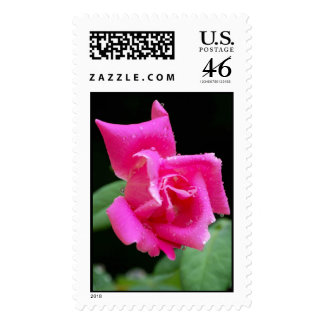 Pink Rose Bedazzled by Dew Postage Stamps
