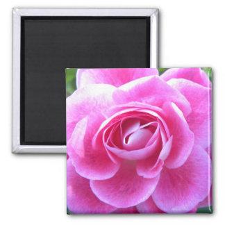 Pink Rose Bloom 2 Inch Square Magnet